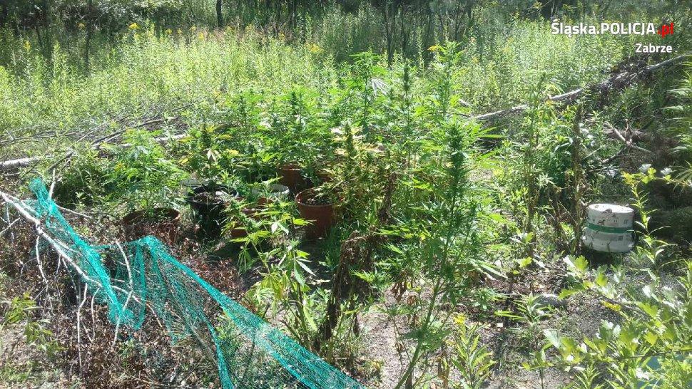 Kolejna plantacja marihuany zlikwidowana